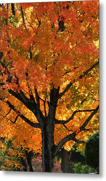 Maple Hill Maple In Autumn Metal Print