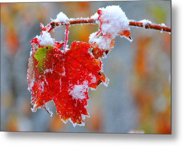 Maple Leaf With Snow Metal Print by Alan Lenk