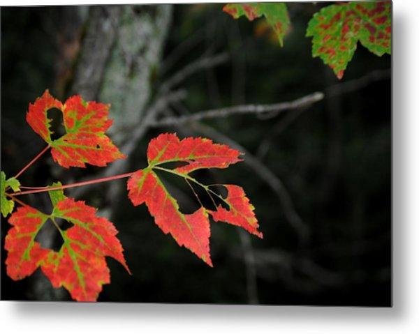 Maple Leaves Metal Print by Steven Scott