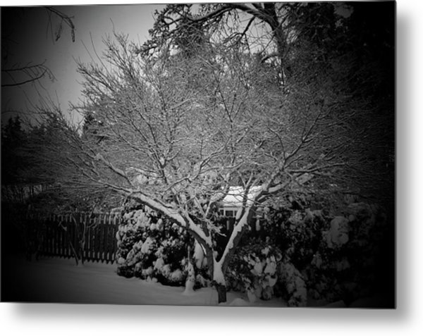 Maple Snow Metal Print by Garry Kaylor