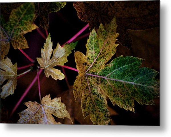 Maple Spatter Metal Print by Trudi Southerland