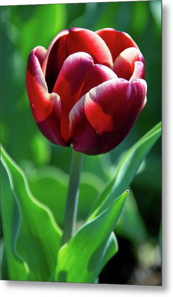 Maroon Tulip Metal Print