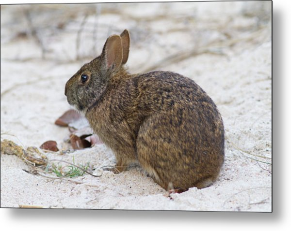 Marsh Rabbit On Dune Metal Print