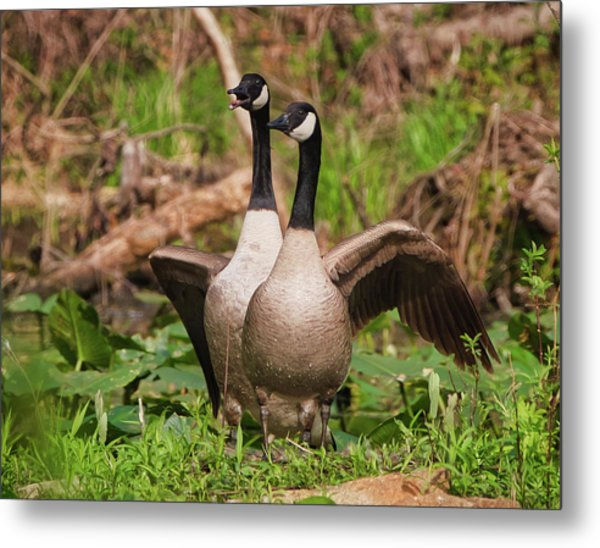 Mating Pair Guarding The Nest Metal Print