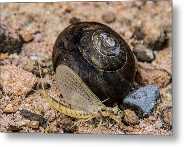 Mayfly Passing A Snail Metal Print