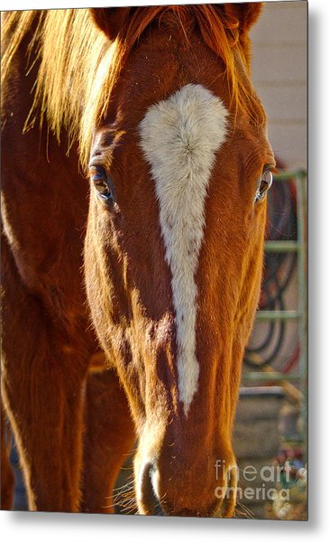 Mccool, Grandson Of Secretariat Metal Print