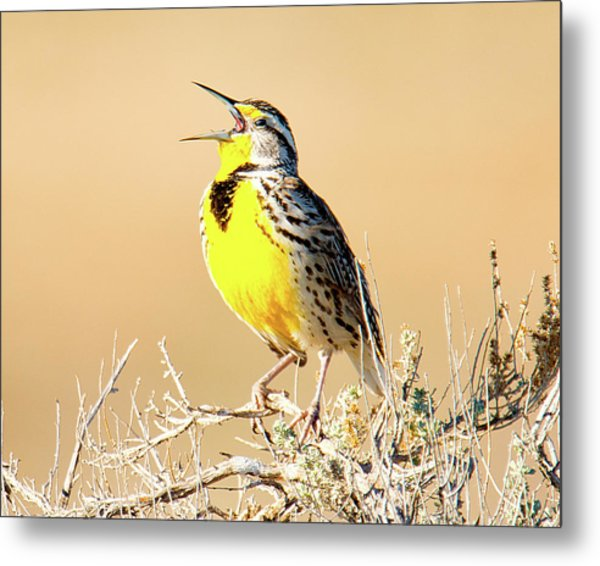 Meadow Lark Metal Print