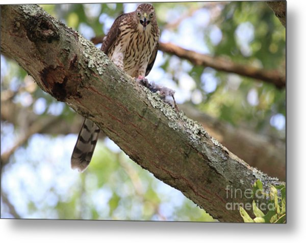 Mean Hawk At Dinner Time Metal Print