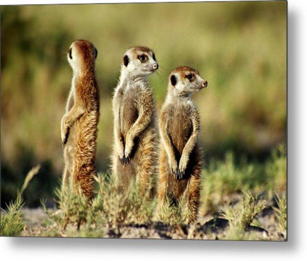Meerkats Three Metal Print