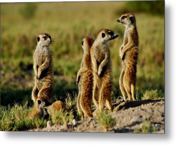 Meerkats Watching Everywhere Metal Print