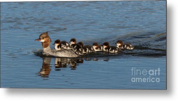 Meet The Mergansers Metal Print