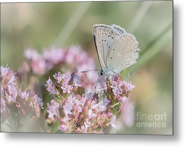 Meleagers Blue Butterfly Metal Print