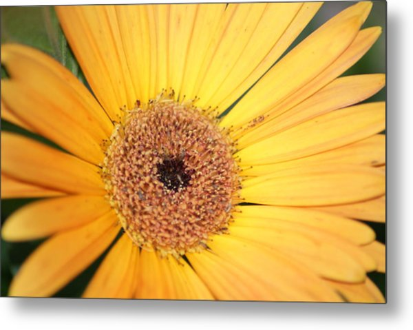 Mellow Yellow Metal Print by Ron Read