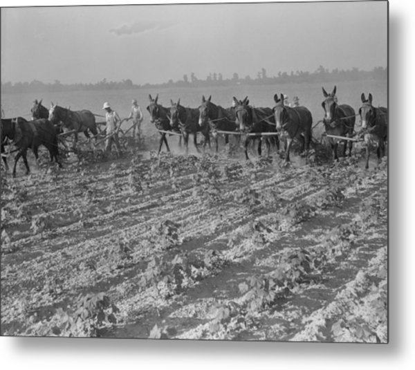 Men And Mules Cultivating Cotton Metal Print by Everett