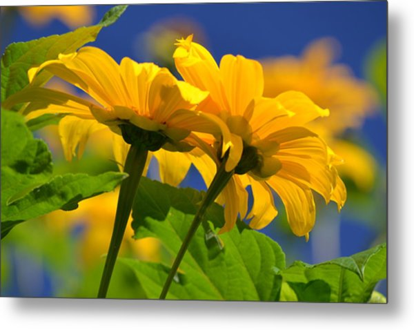 Mexican Sunflower Tree Metal Print