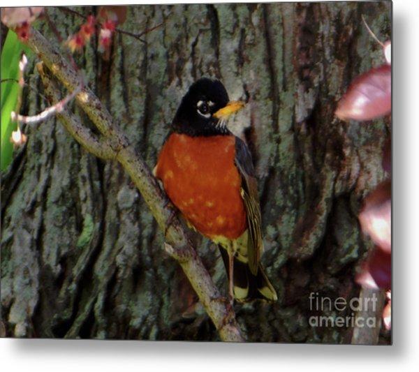 Michigan State Bird Robin Metal Print