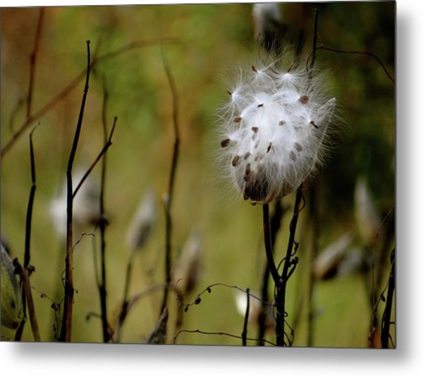 Milkweed In A Field Metal Print