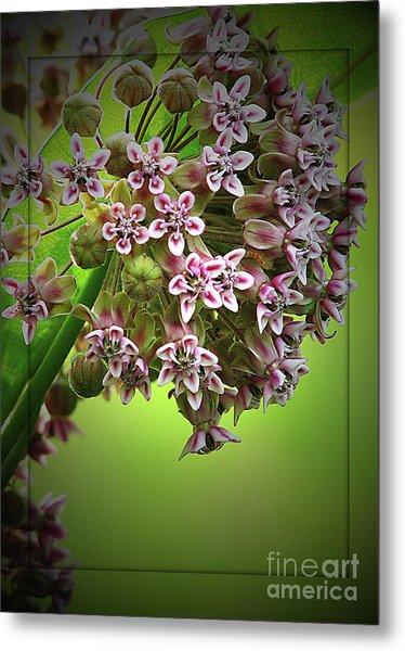Milkweed In Bloom Metal Print by Deborah Johnson