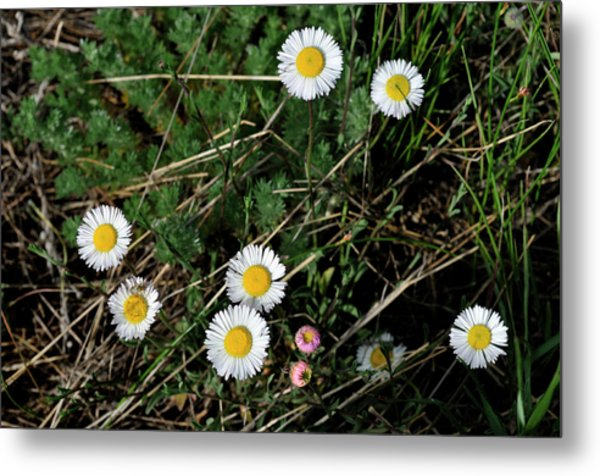 Metal Print featuring the photograph Mini Daisies by Ron Cline