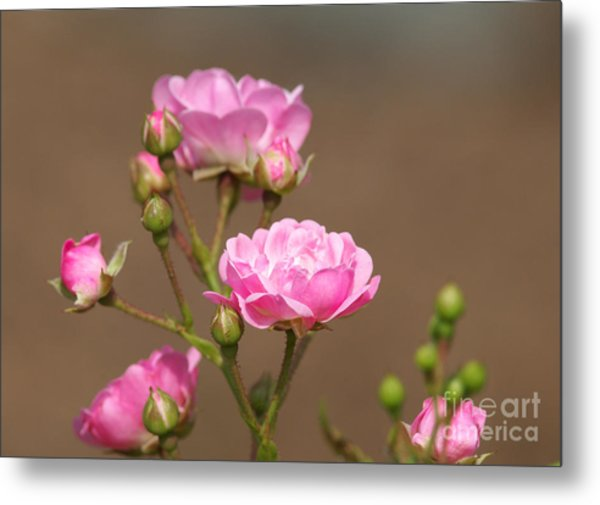 Miniature Pink Roses Metal Print by Sharon Talson