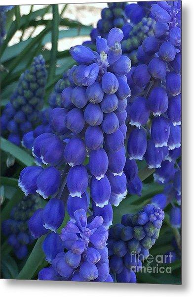 Miniture Grape Hyacinths Metal Print