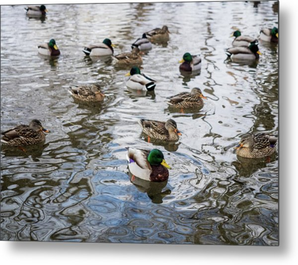 Minnesota Ducks Metal Print