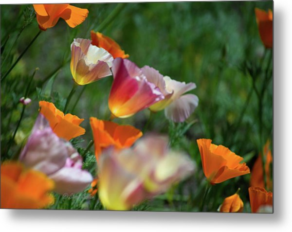 Mission Bell Poppies Metal Print
