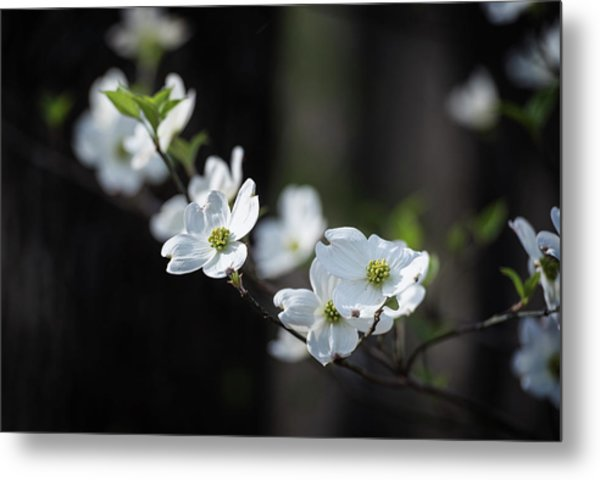 Missouri Dogwood Metal Print