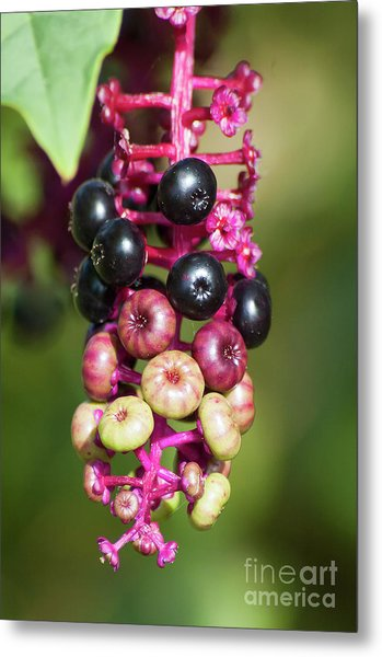 Mixed Berries On Branch Metal Print