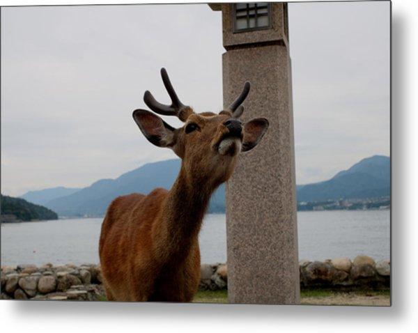 Miyajima Deer Metal Print