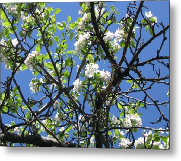 Mn Apple Blossoms Metal Print