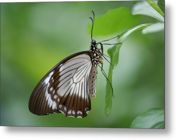 Mocker Swallowtail Metal Print by Jeff VanDyke