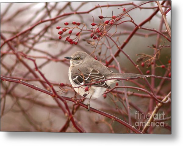 Mockingbird In Winter Rose Bush Metal Print