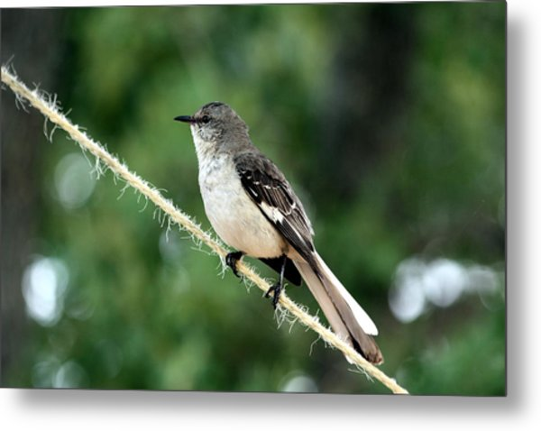 Mockingbird On Rope Metal Print