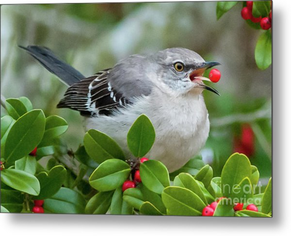 Mockingbird With Berry Metal Print by Rebecca Miller
