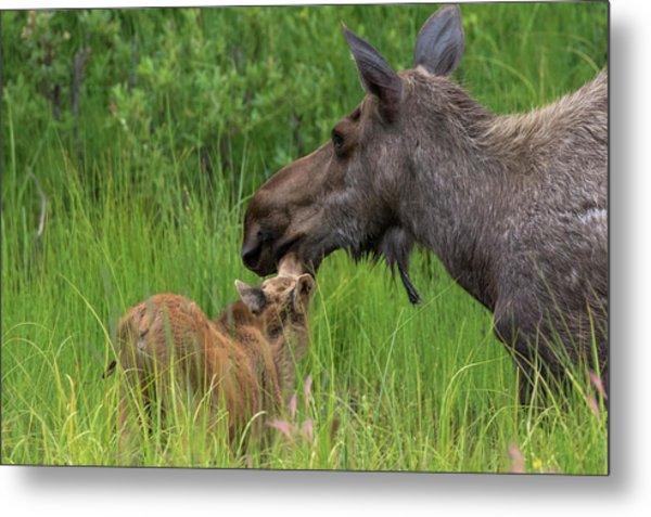 Mom And Baby Moose Metal Print