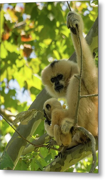 Mommy Gibbon Metal Print