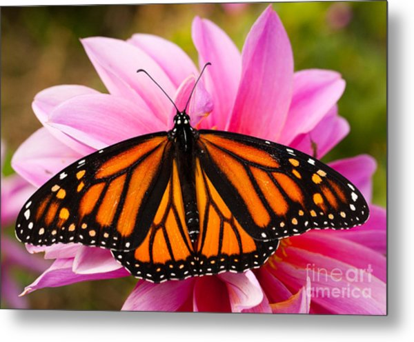 Monarch And Dahlia Metal Print