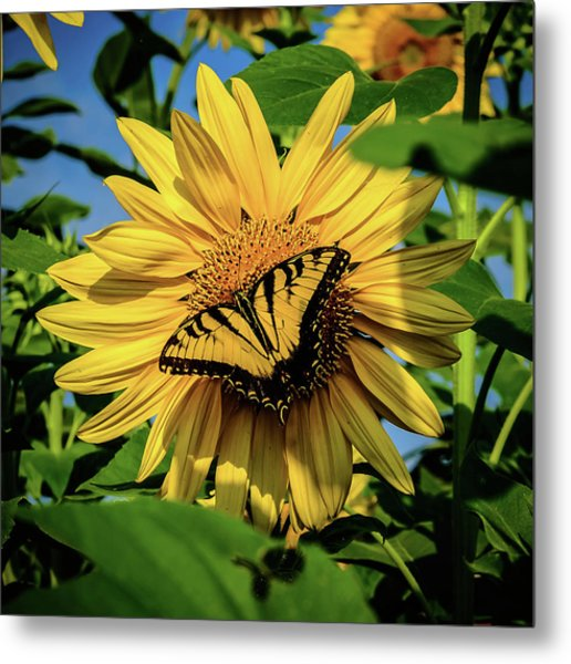 Male Eastern Tiger Swallowtail - Papilio Glaucus And Sunflower Metal Print
