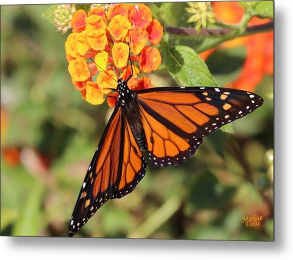 Monarch Butterfly On Orange Flower Metal Print