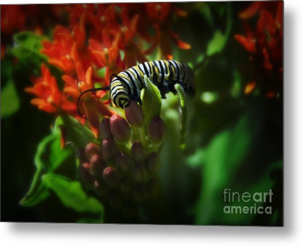 Monarch Metal Print by Fred Lassmann