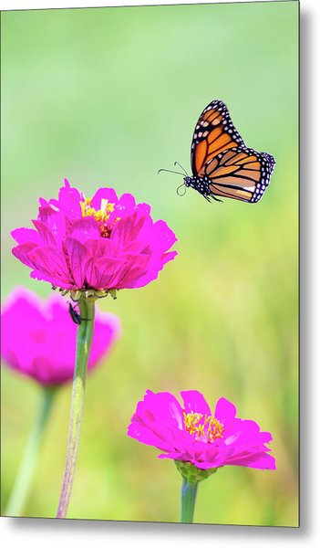 Monarch In Flight 1 Metal Print