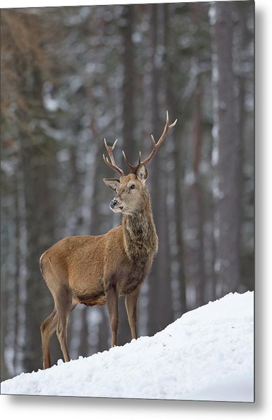 Monarch Of The Woods Metal Print