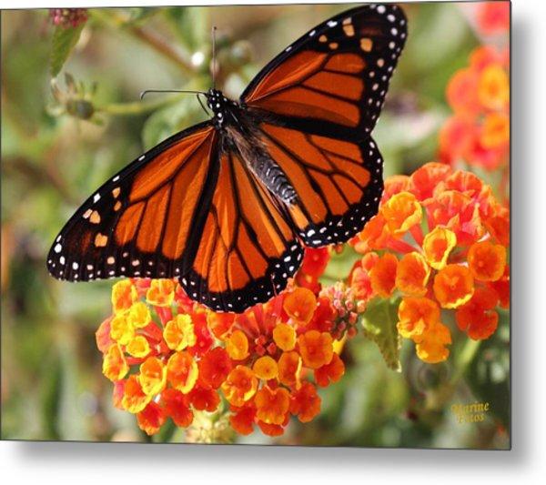 Monarch On 2 Flowers Metal Print
