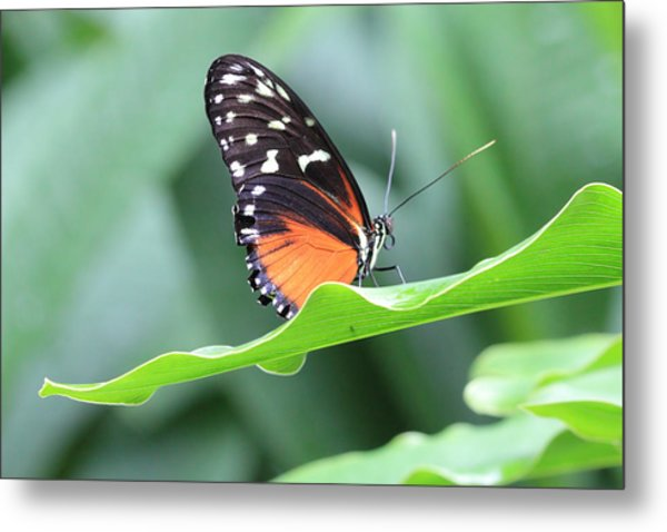 Monarch On Green Leaf Metal Print
