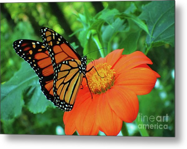 Monarch On Mexican Sunflower Metal Print