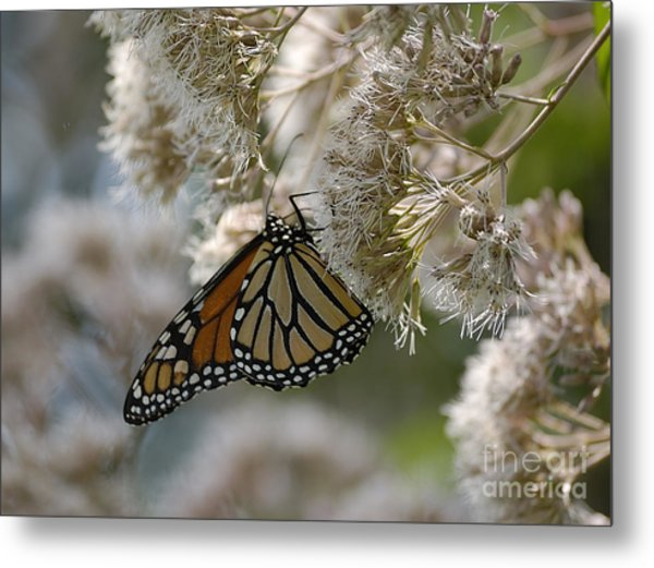 Monarch Pink Metal Print