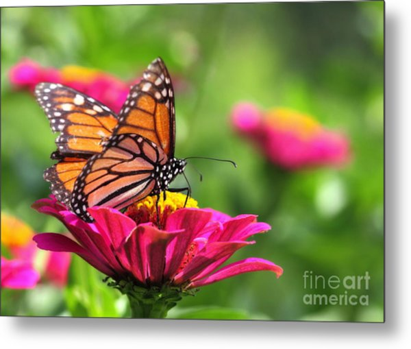 Monarch Visiting Zinnia Metal Print