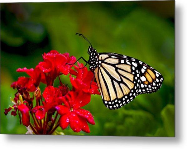 Monarh Butterfly Metal Print