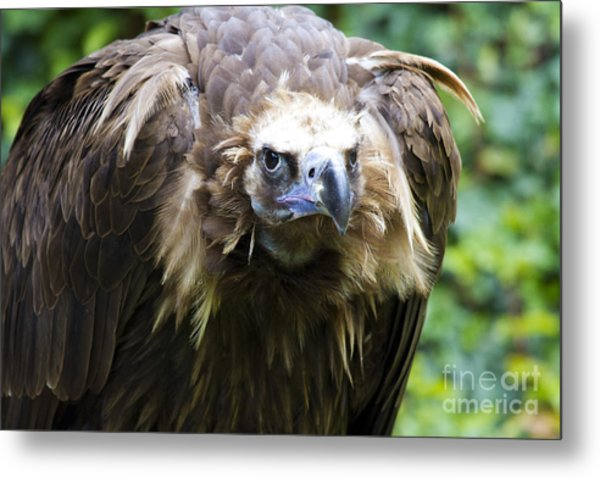 Monk Vulture 3 Metal Print